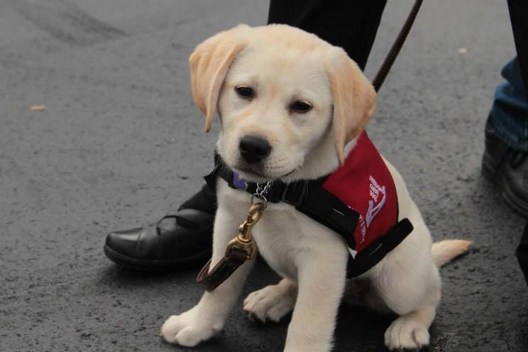 Négylábú GPS-ek világnapja – éljenek a vakvezető kutyák!