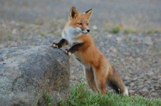 Többen is látták az Egerben kergetőző rókát