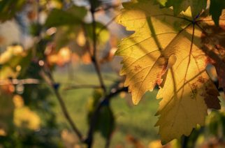 A szőlőültetvények védelmében