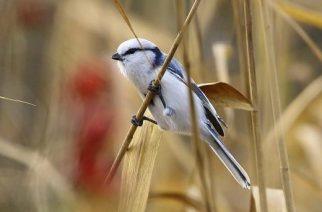 Új madárfaj jelent meg hazánkban, a lazúrcinege