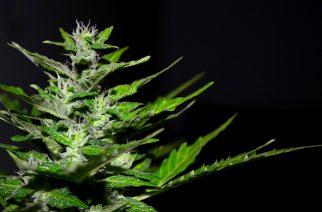 Vádat emeltek a marihuánával kereskedő drogdílerekkel szemben